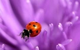 Nature flowers purple bugs macro ladybirds wallpaper