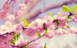 Nature flowers sakura spring deviantart blossoms wallpaper