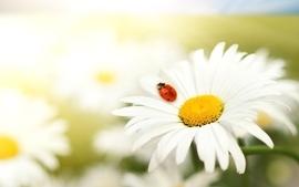 Nature flowers summer daisy ladybirds wallpaper
