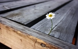 Nature flowers wood photography daisy wallpaper