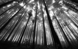 Nature forest grayscale monochrome wallpaper