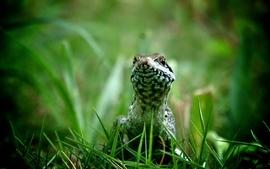 Nature grass lizards reptiles wallpaper
