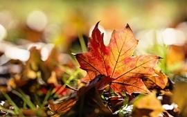 Nature leaves maple leaf autumn wallpaper