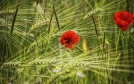Nature red grass fields poppy 2 wallpaper
