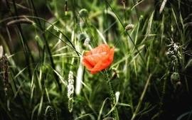 Nature red grass fields poppy wallpaper