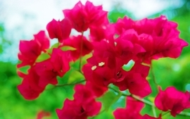 Nature trees flowers forest bougainvillea wallpaper