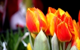 Nature tulips orange flowers blurred background wallpaper