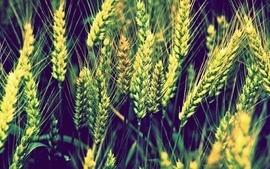 Nature wheat plants wallpaper