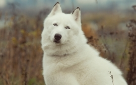 Nature white animals wolves wallpaper