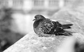 Paris grayscale pigeons sitting birds wallpaper