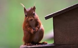 Red animals squirrels wallpaper