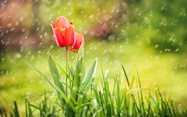 Red Tulip Rain wallpaper