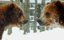 Snow animals bears 2 wallpaper