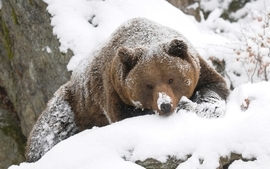 Snow animals bears wallpaper