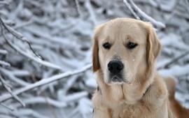 Snow animals dogs labrador retriever lab wallpaper