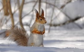 Snow animals squirrels blurred background wallpaper