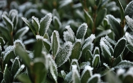 Snow leaves frost macro wallpaper