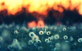 Sunsets nature fields dandelions wallpaper