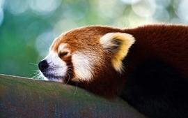 Trees animals red pandas wallpaper