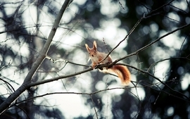 Trees animals squirrels depth of field branches wallpaper