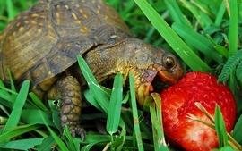 Turtles macro strawberries wallpaper