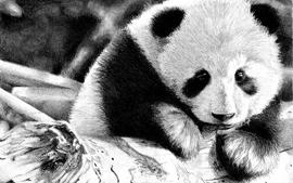 Wall panda bears wallpaper