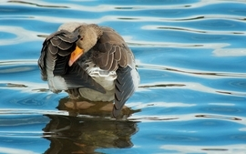 Water birds ducks wallpaper
