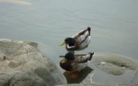 Water birds rock lakes duck wallpaper