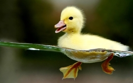 Water duck wallpaper