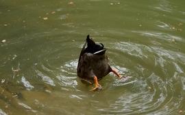 Water nature ass ducks wallpaper