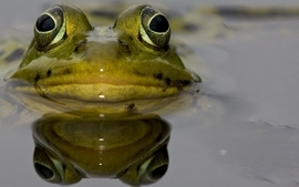 Water nature frogs amphibians wallpaper