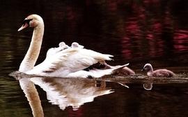 Water wildlife swans wallpaper