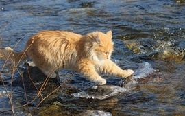 Water yellow cats animals orange rocks pussycat rivers wallpaper