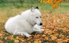 White animals dogs husky wallpaper