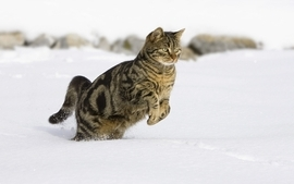 Winter snow cats animals leap running wallpaper