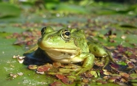 Women frogs amphibians wallpaper