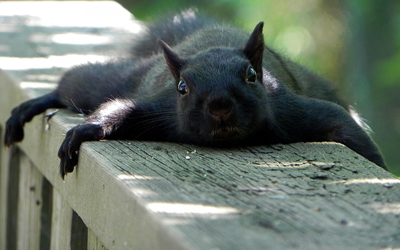 Animals funny squirrels (1680x1050)