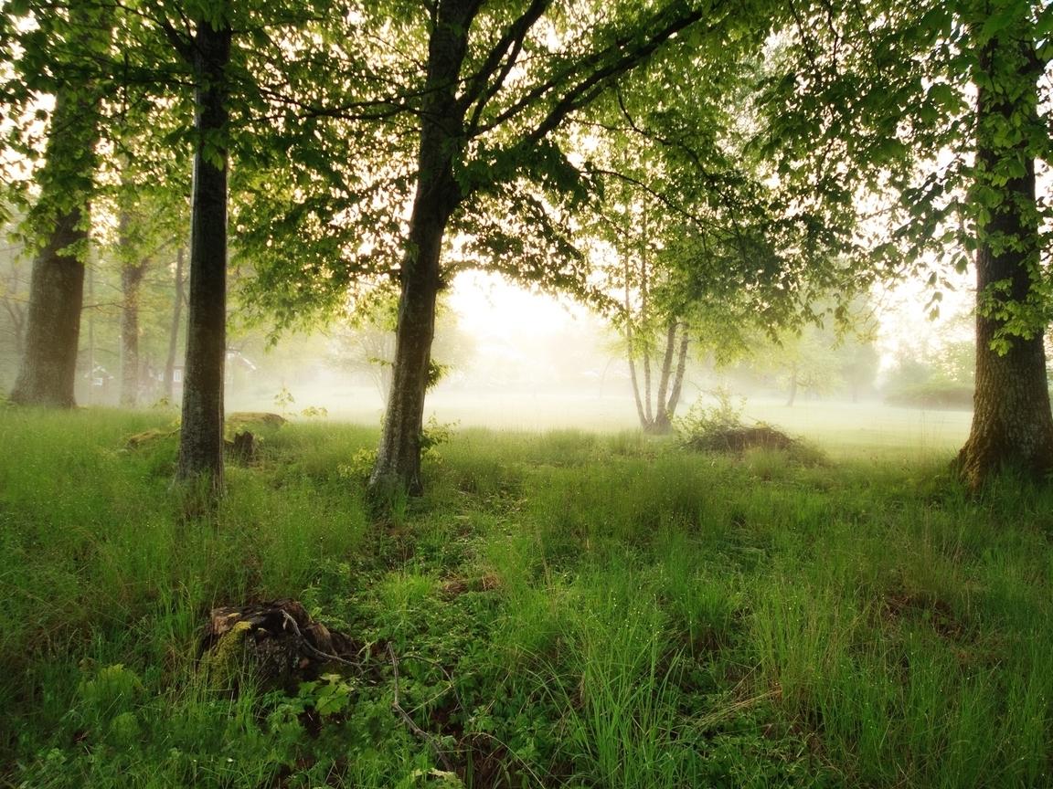 Trees fog (1152x864)
