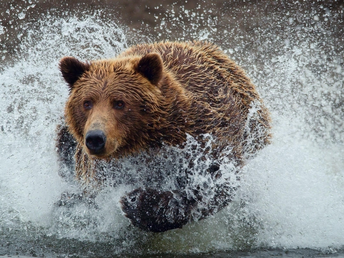 Water animals wet grizzly bears running bears wild animals (1152x864)