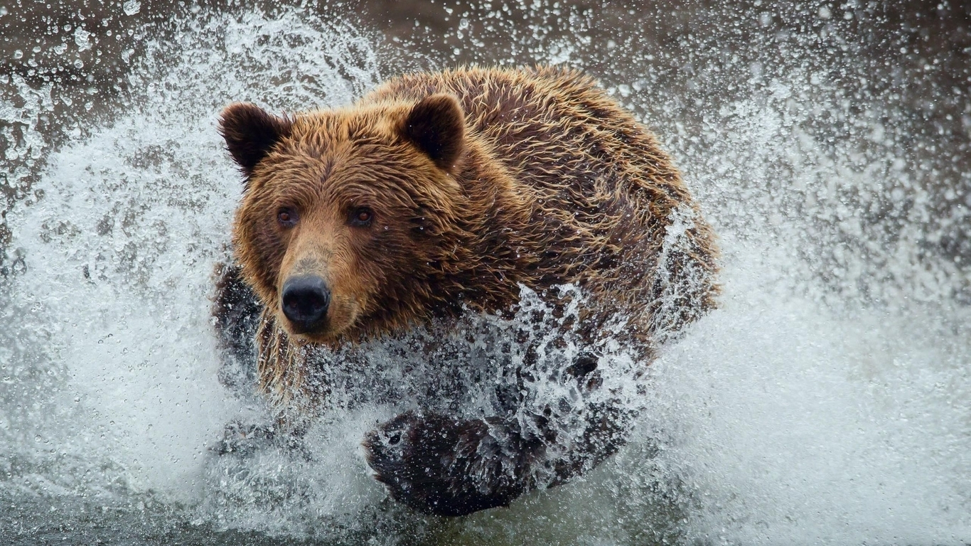 Water animals wet grizzly bears running bears wild animals (1366x768)