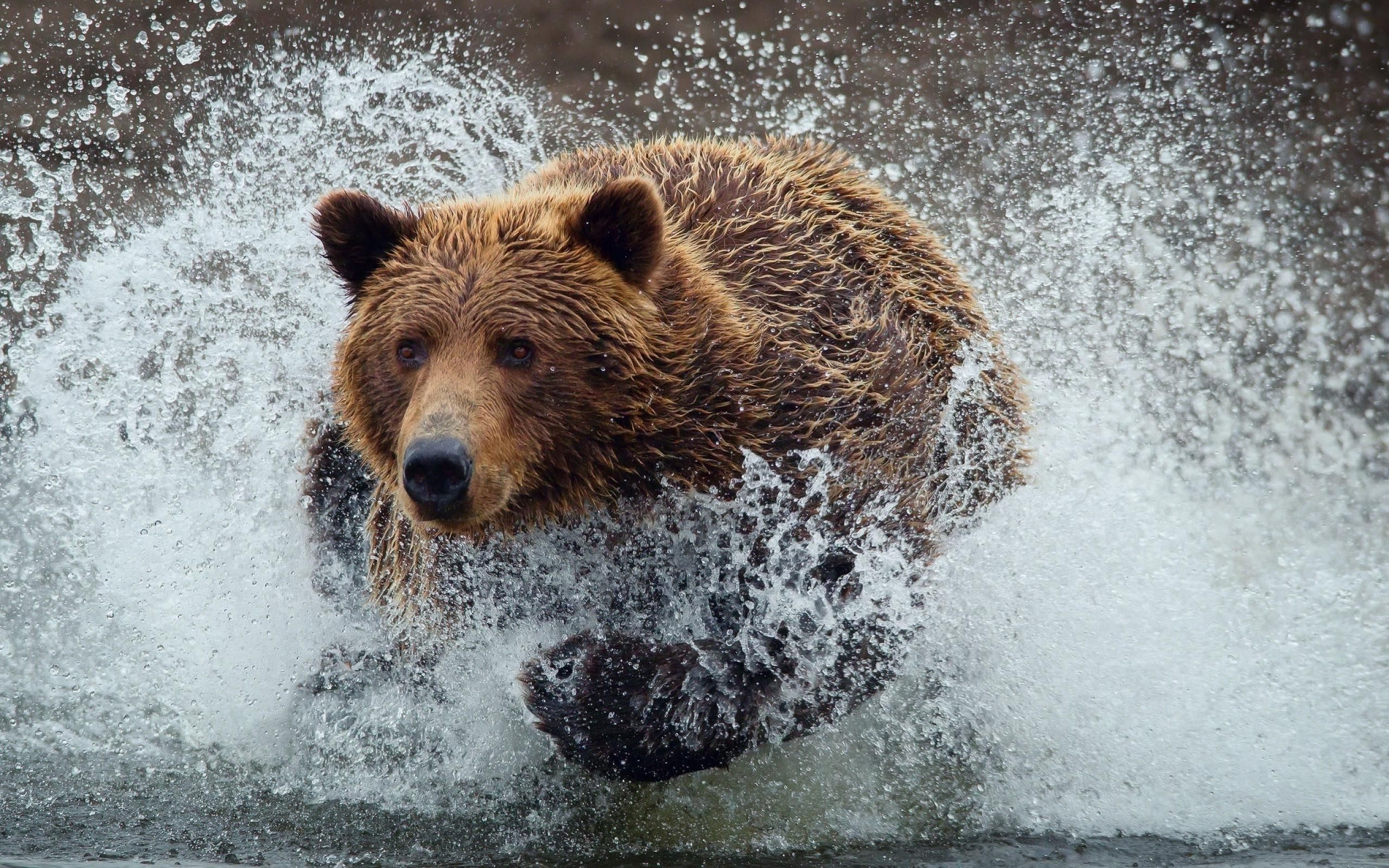 Water animals wet grizzly bears running bears wild animals (2560x1600)