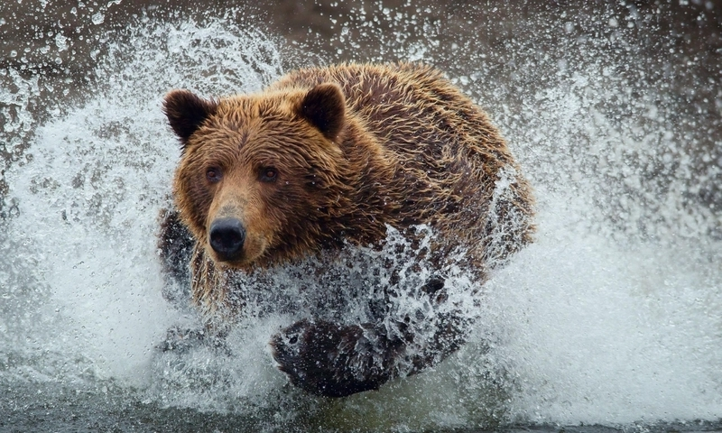 Water animals wet grizzly bears running bears wild animals (800x480)