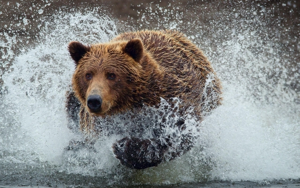 Water animals wet grizzly bears running bears wild animals (960x600)